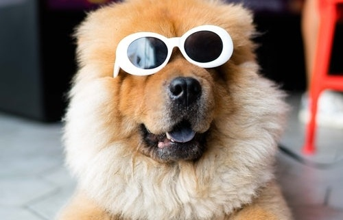fluffy dog with glasses