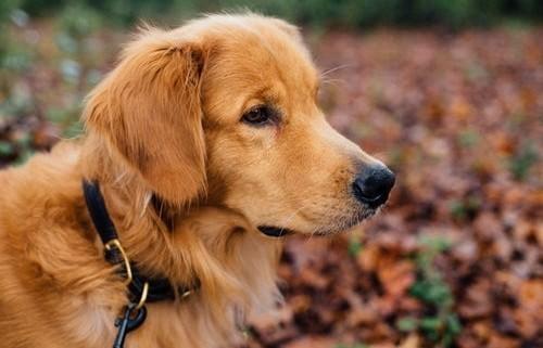 Beige dog outside