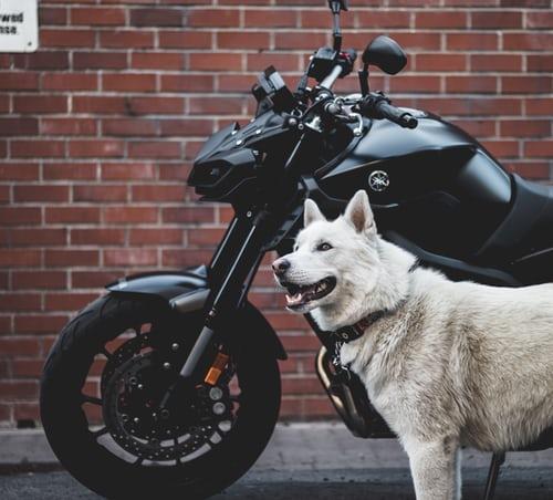 white dog next to a black motorcycle
