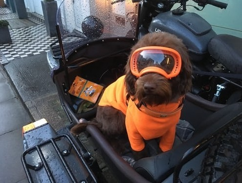 dog wearing orange glasses sitting on a motorcycle