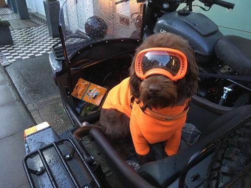 dog wearing orange glasses sitting on a motorcycle