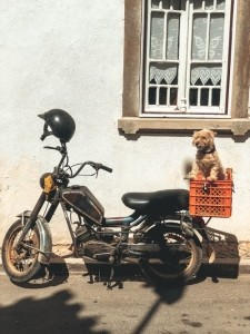 small dog sitting on a motorcycle