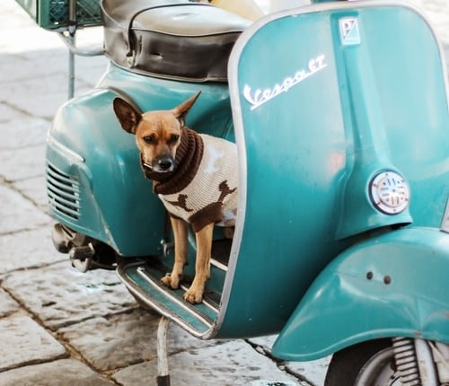 small dog on a blue scooter