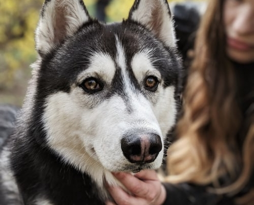 black and white husky looking at camera