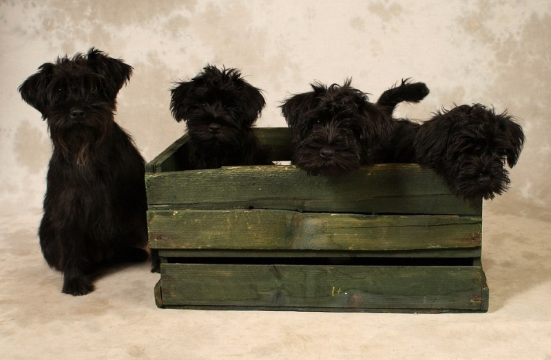 black puppies in a wooden box