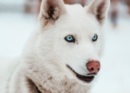 white-sled-dog-with-piercing-blue-eyes